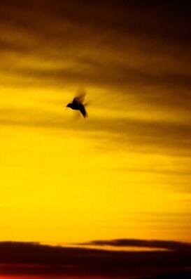 Pendlton Swallow